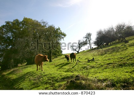 Grazing cows in Sonoma County. California where cows are supposedly quite happy. - stock photo