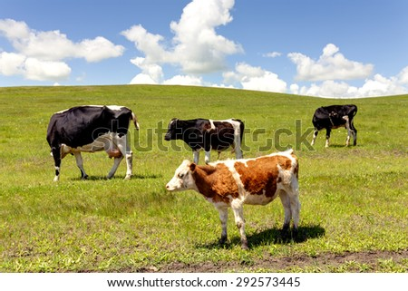Grazing cows in summer pasture - stock photo