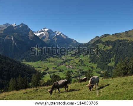 Grazing Cows In The Bernese Oberland - stock photo