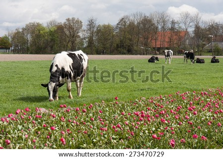Grazing cows near a tulip field in the Netherlands - stock photo