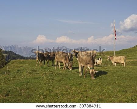 Grazing cows on pasture, Grasende Milchkühe auf der Weide  - stock photo