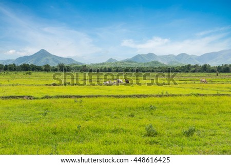 Grazing cows on the meadow at Tak province,Thailand,Cows in the field