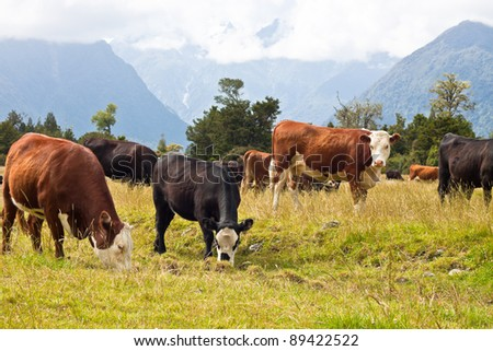 Grazing cows, rural landscape at Fox Glacier, West Coast, South Island, New Zealand. - stock photo