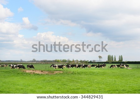 Grazing Dutch cows in spring - stock photo