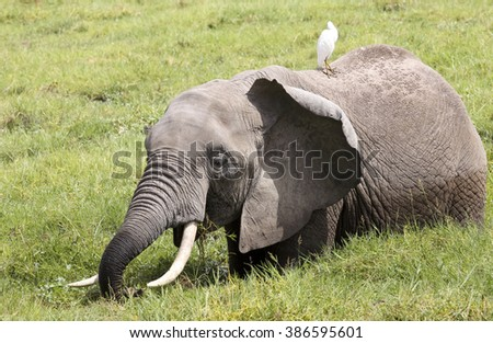 Grazing elephant with cattle egret.