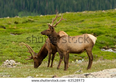 Grazing Elk In Tundra - stock photo