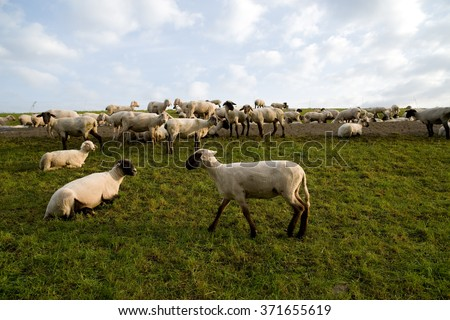 Grazing flock of sheared sheep on green dike in north Germany, Europe