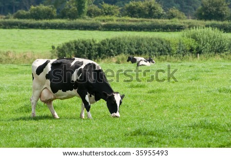 Grazing friesian cow in lush meadow with other cows lying down in background - stock photo