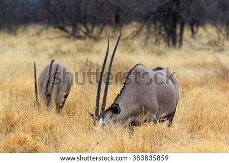 grazing Gemsbok, Oryx gazella, dominant Gemsbok antelope in the park, Etosha, Namibia - stock photo