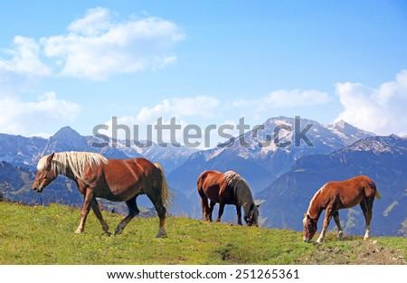 grazing haflinger horses in alpine landscape, austria - stock photo