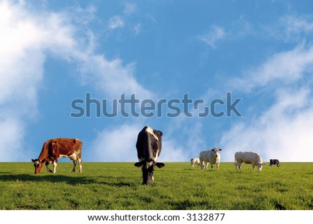 grazing herd of cows in a fresh meadow