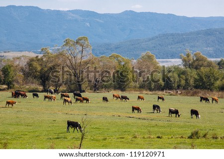 Grazing herd of cows with mountains on background - stock photo