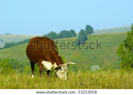 grazing hereford cow at the hills land - stock photo