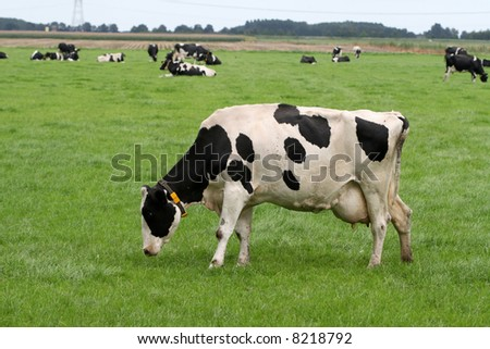 Grazing Holstein cow with herd in the background - stock photo