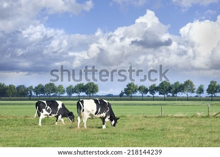 Grazing Holstein-Frisian cows grazing in a green Dutch meadow on a summer day. - stock photo