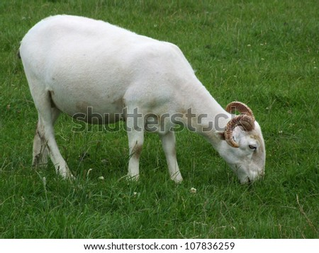 Grazing Horned Sheep - stock photo