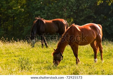 Grazing horses - stock photo