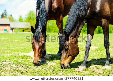 grazing horses in a meadow  - stock photo