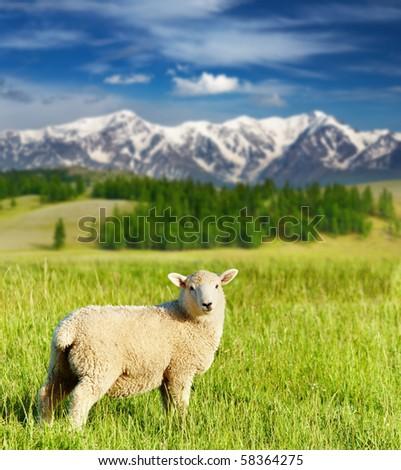 Grazing lamb - stock photo