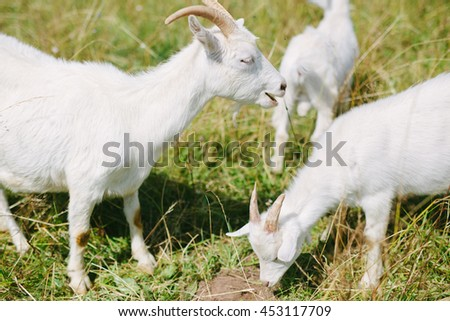 Grazing of the goats on the summer meadow