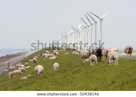 Grazing sheep near windmills along a dike in the netherlands - stock photo