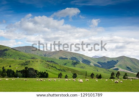 Grazing sheep on a meadow. New Zealand - stock photo