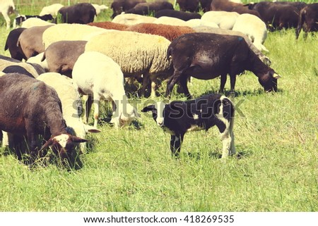 Grazing Sheep on the Pasture