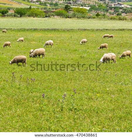 Grazing Sheep on the Sloping Meadows in Sicily