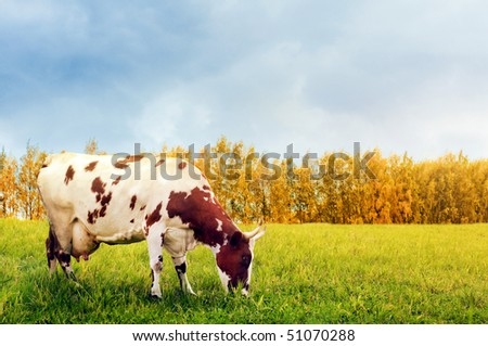 Grazing spotted cow - stock photo