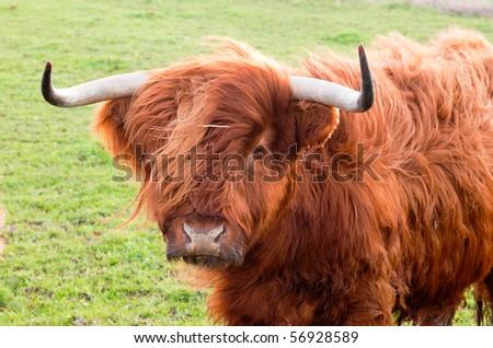 Grazing yak - stock photo