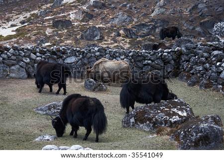 Grazing yaks, Everest region, Himalayas, Nepal - stock photo