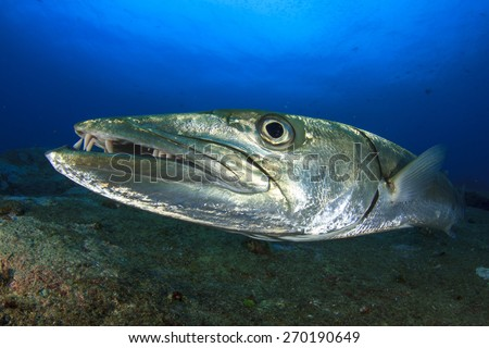 Great Barracuda fish - stock photo