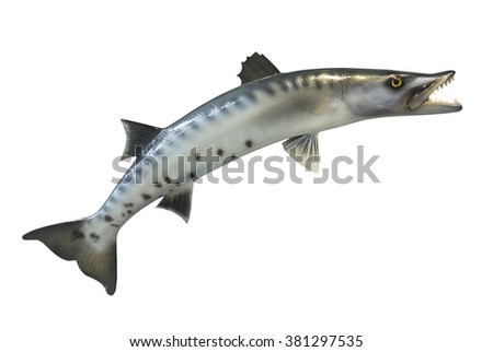Great Barracuda fish, isolated on white background - stock photo