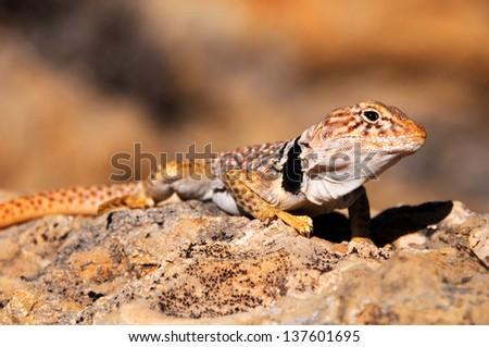 Great Basin Collared Lizard  - Burr Trail - Utah - stock photo