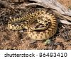 Great Basin Gopher Snake, Pituophis catenifer deserticola - stock photo