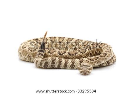 Great Basin Rattlesnake (Crotalus oreganus lutosus) isolated on white background. - stock photo