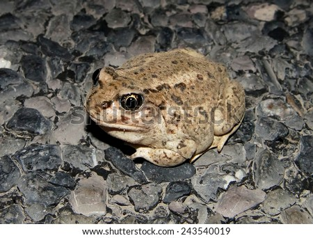 Great Basin Spadefoot Toad, Spea intermontana, nocturnal species of toad in the Scaphiopodidae family from the desert and which comes above ground to breed during rare desert rains  - stock photo