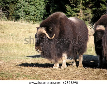 Great big male musk ox in the sun looking at the camera. - stock photo