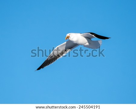 Great Black-backed Gull in Flight - stock photo