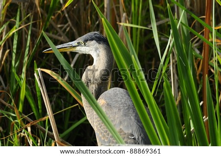 Great Blue Heron - stock photo