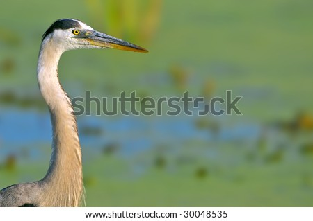great blue heron against blurry wetland marsh background