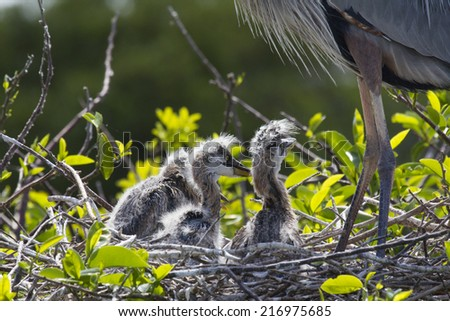 Great Blue Heron and chicks. Photo taken in Green Cay Wildlife Reserve Southern Florida.  - stock photo