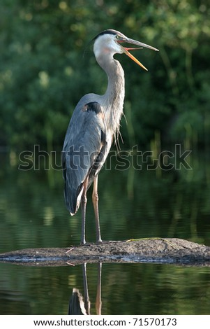 Great Blue Heron (Ardea herodeus) - Haliburton, Ontario, Canada - stock photo
