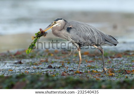 Great Blue Heron (Ardea herodias) adult with algae and freshly caught fish in beak. Vancouver Island, British Columbia, Canada, North America.