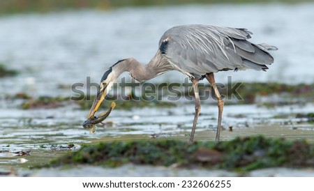Great Blue Heron (Ardea herodias) adult with freshly caught fish in beak. Vancouver Island, British Columbia, Canada, North America.