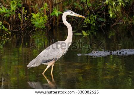 Great blue heron (Ardea herodias) and alligator - stock photo