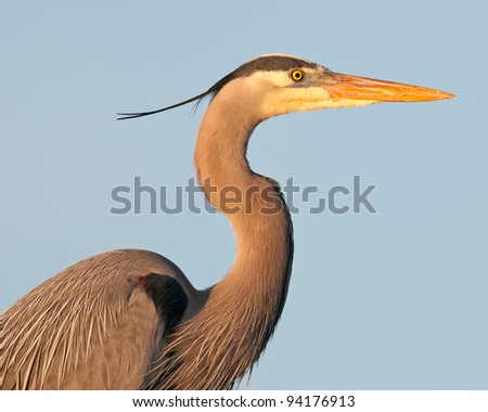 Great Blue Heron (Ardea herodias) at the Ritch Grissom Memorial Wetlands (often referred to as the Viera Wetlands) in Melbourne, Florida - stock photo