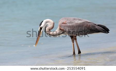 Great blue heron, Ardea herodias, catching a fish - stock photo