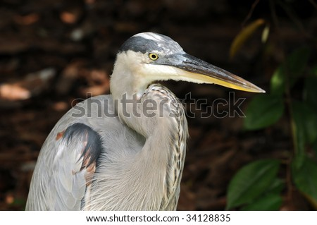 Great Blue Heron (Ardea herodias) commonly seen in florida - stock photo