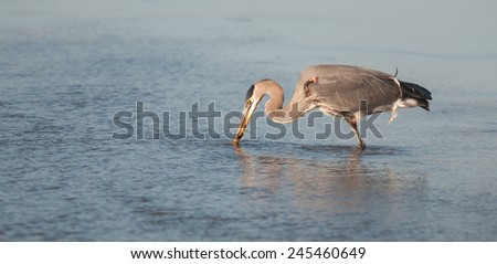 Great blue heron, ardea herodias, fishing in the Potomac River  - stock photo